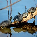 Family Of Turtles by Bob Guthridge