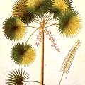 Fan Palm by Granger