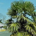 Fan Palm Tree by Roy Birkby