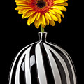Fancy Daisy In Stripped Vase  by Garry Gay