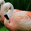 Fancy Flamingos by Spade Photo