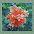 Fancy Peach Hibiscus by Sandi OReilly
