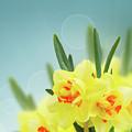 Fancy Spring Narcissus Garden  by Anastasy Yarmolovich