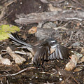 Fantail  by Peter Hill