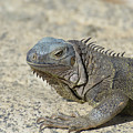 Fantastic Gray Iguana With Spines Along His Back by DejaVu Designs