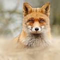 Fantastic Mr Fox by Roeselien Raimond