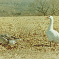 Farm Geese by JAMART Photography
