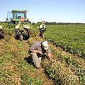 Farmer Inspects Peanut Field by Inga Spence