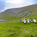 Faroes Geese by Robert Lacy