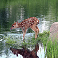 Fawn At The Water Hole by Herbert L Fields Jr