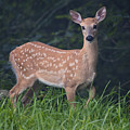 Fawn Doe by Ken Barrett