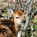 Fawn Face by Brook Burling