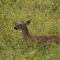 Fawn In A Field Of Flowers by Tina B Hamilton