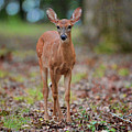 Fawn In Woods At Shiloh National Military Park by WildBird Photographs