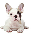 Fawn Pied French Bulldog Puppy by Mlorenzphotography