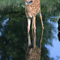 Fawn Reflection by Sandra Bronstein