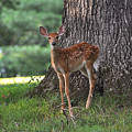 Fawn by Todd Hostetter