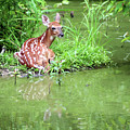 Fawn White Tailed Deer Wildlife by Linda Pearson