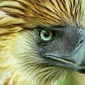 Fearless Philippine Eagle by Jelieta Walinski