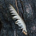 Feather In Burnt Tree by Bruce Chevillat