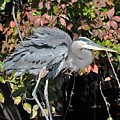 Feathers Ruffled by Sally Falkenhagen