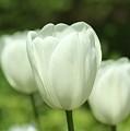 Feathery White