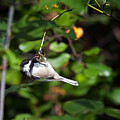 Feeding Black-capped Chickadee by Al  Mueller