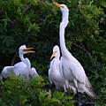Feeding Time In The Great White Egret Rookery by Patricia Twardzik