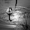 Feeding Trumpeter Swan In Black And White by Michael Dougherty