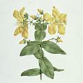 Feel-fetch - Hypericum Quartinianum by James Bruce