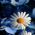 Feeling Blue Daisies by Trish Tritz