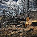 Felled After The Wildfire by Douglas Craig
