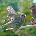 Female And Male Crossbills    August  Indiana by Rory Cubel