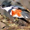 Female Belted Kingfisher by Darin Bokeno