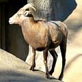 Female Bighorn Sheep Ewe by Rose Santuci-Sofranko