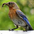 Female Bluebird Feeding Her Brood by Sandi OReilly