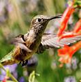 Female Broadtail Humingbird by Tim Kathka