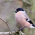 Female Bullfinch by Bob Kemp