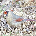 Female Cardinal by Bonfire Photography