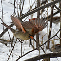 Female Cardinal by David Hook