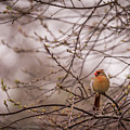 Female Cardinal In Spring 2017 by Terry DeLuco