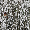 Female Cardinal In The Snow by Teresa Mucha