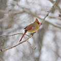 Female Cardinal In Winter by David Arment