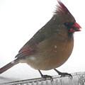 Female Cardinal by Nancy Crouse
