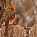 Female Cardinal On The Fence by Edward Peterson