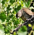Female Cooper's Hawk Feeding by Dennis Boyd