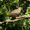 Female Dove Resting On Limb by Melody Meadows