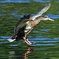 Female Duck Landing by Randall Ingalls