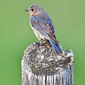 Female Eastern Bluebird 4479 by Michael Peychich