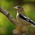 Female Evening Grosbeak - 365-55 by Inge Riis McDonald